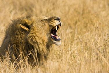 AF05JAM0031 Okavango Delta, Botswana. Close-up of male lion roaring.
