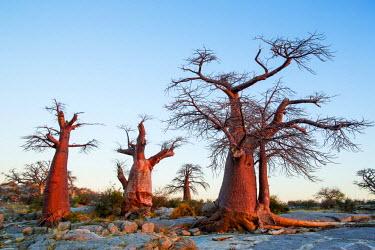 AF05PSO0425 Africa, Botswana, Setting sun lights Baobab trees grow atop dry granite outcrop of Kubu Island in Makgadikgadi Pan within Kalahari Desert