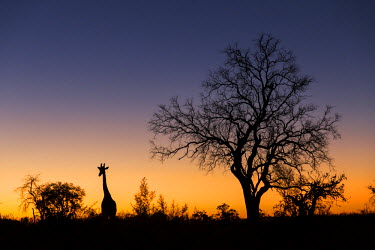 AF05PSO0480 Africa, Botswana, Chobe National Park, Silhouette of Giraffe (Giraffa camelopardalis) standing near acacia trees on Savuti Marsh at dusk