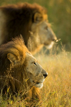 AF05PSO0500 Africa, Botswana, Moremi Game Reserve, Adult Male Lions (Panthera Leo) in morning sun in Okavango Delta