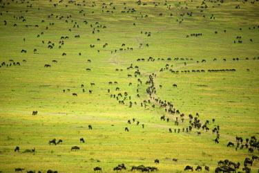 AF21AAS0156 Kenya, Masai Mara National Reserve, thousands of wildebeest preparing of the migration