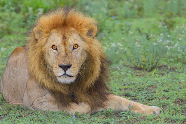 AF45JHE0216 Adult male lion, lying on grass resting, look of surprise while looking at viewer, eyes pinpoint