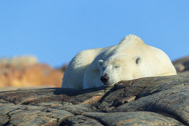 CN15PSO0176 Canada, Nunavut Territory, Repulse Bay, Polar Bear (Ursus maritimus) resting on rocky mountain slope on Harbour Islands along Hudson Bay