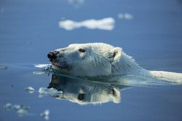 CN15PSO0180 Canada, Nunavut Territory, Repulse Bay, Polar Bear (Ursus maritimus) swimming in Hudson Bay near Arctic Circle