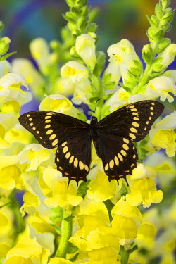 NA02DGU0405 Scamander Swallowtail  Butterfly from Brazil, Papilio Scamander