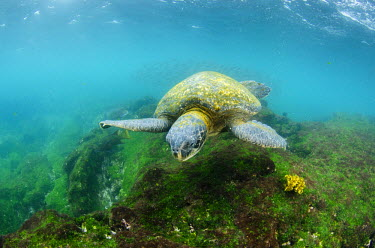 Galapagos Green Sea Turtle (Chelonia mydas agassizi) underwater, Galapagos Islands, Ecuador, Endemic Subspecies