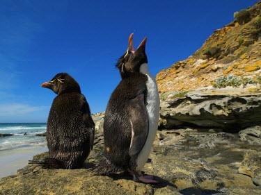 SA09BJY0000 Falkland Islands. Rockhopper penguin calling.