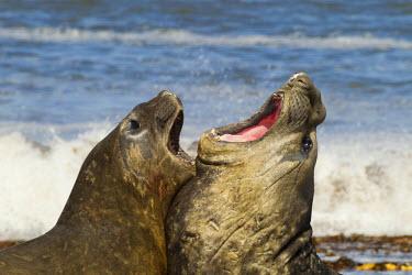 SA09BJY0189 Falkland Islands, Sea Lion Island. Southern elephant seals fighting.
