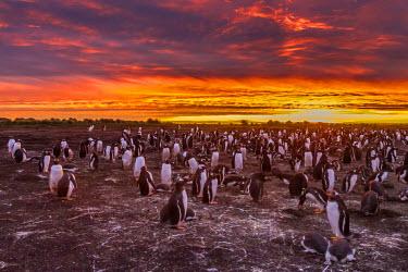 SA09BJY0194 Falkland Islands, Sea Lion Island. Gentoo penguins colony at sunset.