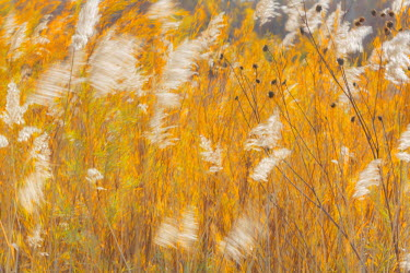 US32BJY0131 USA, New Mexico, Bosque del Apache National Wildlife Refuge. Blowing grasses.