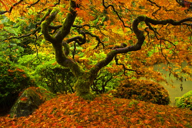 Japanese Maple, Portland Japanese Garden, fallen leaves, Autumn, strolling garden, Portland, Oregon, USA (PR)