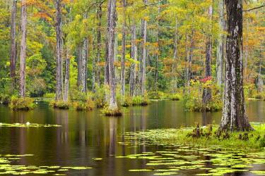 US41BJY0020 USA, South Carolina, Cypress Gardens. Lily pads in cypress swamp.