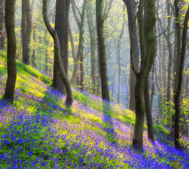 ENG12952AW England, Calderdale. Bluebell woodland at dawn.