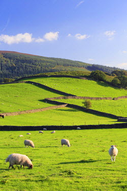 ENG12956AW England, Appletreewick. Sheep grazing in the Yorkshire Dales countryside.