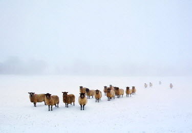 ENG13025AW England, Calderdale. Sheep in snow and fog.