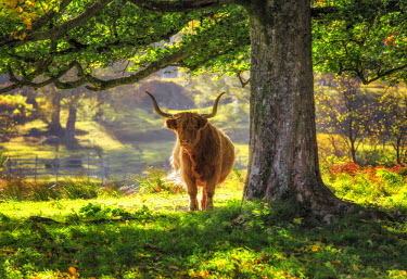 SCO33872AW Scotland, Glen Lyon. Highland Cow in the autumn sunshine.