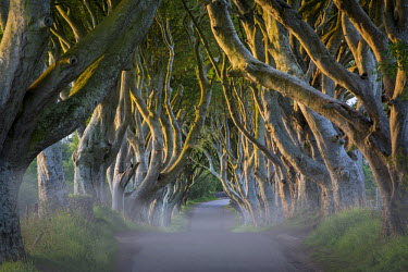 EU15BJN0101 Misty dawn at Beech tree-lined road known as the Dark Hedges near Stanocum, County Antrim, Northern Ireland, UK