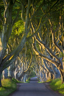 EU15BJN0103 Dawn over the Beech tree-lined road known as the Dark Hedges near Stanocum, County Antrim, Northern Ireland, UK