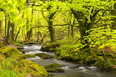 ENG13210AW River Fowey running through verdant Spring woodland at Golitha Falls on Bodmin Moor, Cornwall, England. Spring (May) 2015.