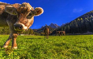 CLKAP33200 St. Johann in Ranui, Val di Funes, Trentino Alto Adige, Italy. Grazing cows