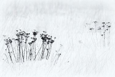 CLKDB18070 Orsiera Rocciavre Park, Chisone Valley, Piedmont, Italy. Stems in the snow