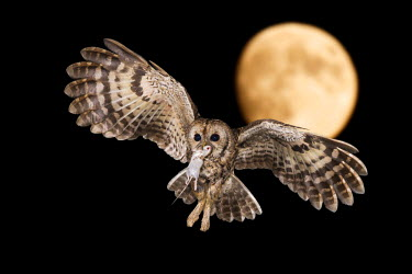 CLKJR25345 A Tawny owl in night flight with a mouse in its beak, Trentino Alto-Adige, Italy