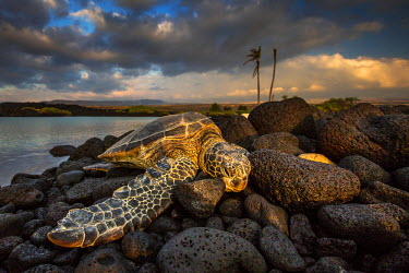 CLKMG29566 Green sea turtle sleeping on lava rocks in Kiolo Bay at sunset, Hawaii, USA