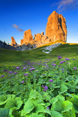 CLKMG35212 Europe, Italy, Veneto, Belluno. Flowering of Cavolaccio (Adenostyles alpina) at the foot of the Cinque Torri illuminated by the light of the sunset, Cortina d Ampezzo, Dolomites.