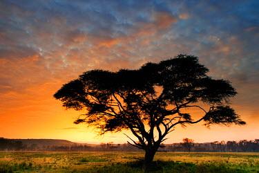 CLKWD13195 Lake Nakuru Park, Kenya, Africa The silhouette of an acacia at dawn