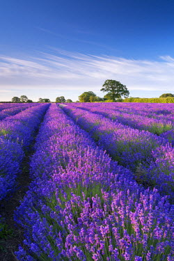 ENG13181AW Lavender field in flower, Faulkland, Somerset, England. Summer (July) 2014.
