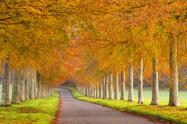 ENG13198AW Colourful tree lined avenue in autumn, Dorset, England. Autumn (November) 2014.