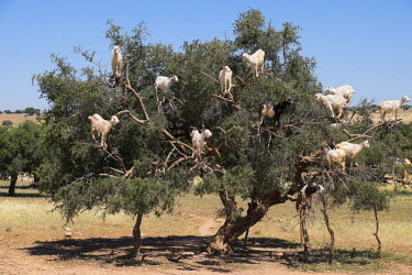 AF29EWI0389 Morocco, road to Essaouira, goats climbing in Argan trees.
