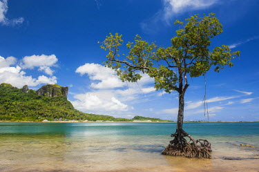 OC18MRU0092 Lonely mangrove tree standing in the water before Sokehs Rock, Pohnpei, Micronesia, Central Pacific