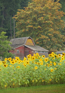 CN02KOK0832 Canada, British Columbia, Cowichan Valley. Row of sunflowers and old red barn