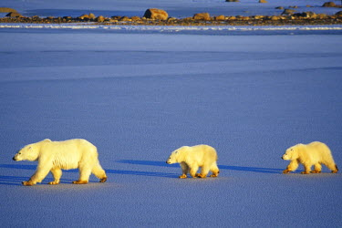 CN03RDY0186 Polar Bears (Ursus maritimus) female with 2 cubs walking on frozen pond, Churchill, Manitoba, Canada