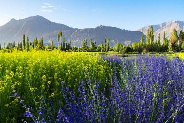 IND8060 Growing flowers on the valley floor, Nubra Valley, Ladakh
