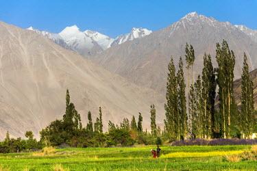 IND8066 Growing flowers on the valley floor, Nubra Valley, Ladakh