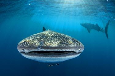 AS11POX0168 Whale Shark, Cenderawasih Bay, West Papua, Indonesia