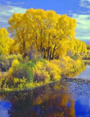US06JBA0049 USA, Colorado, Curecanti National Recreation Area, Narrowleaf cottonwood and willows display fall color along the Gunnison River