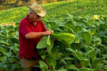 CA11JME0107 Cuba, Vinales, farmer harvesting tobacco leaves. The Vinales Valley is a UNESCO World Heritage Site