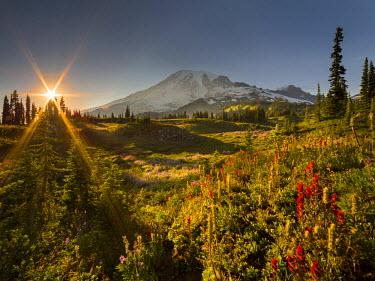 US48GLU0763 USA, Washington State. Starburst setting sun, subalpine wildflowers and Mt. Rainier at Mazama Ridge, Paradise area, Mt. Rainier National Park. Digital composite.