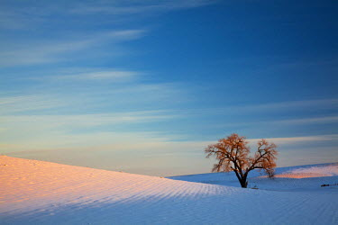 US48TEG0909 USA, Washington State, Sunset Bathed Lone Tree in Snow covered Winter Field