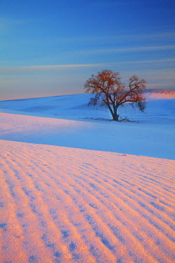 US48TEG0911 USA, Washington State, Sunset Bathed Lone Tree in Snow covered Winter Field