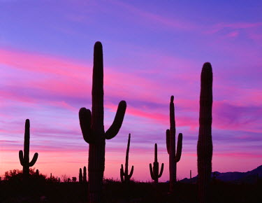 US03JBA0067 USA, Arizona, Organ Pipe Cactus National Monument, Saguaro cacti are silhouetted by sunset colored sky, Ajo Mountain Loop