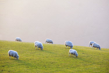 ENG13389AW England, West Yorkshire, Calderdale. Sheep grazing on a misty evening.