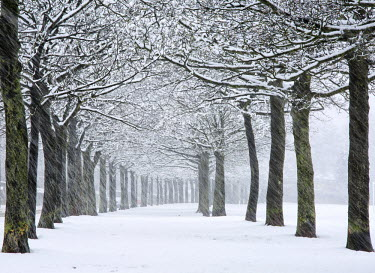 England, West Yorkshire, Halifax. Rows of trees at a park in falling snow.