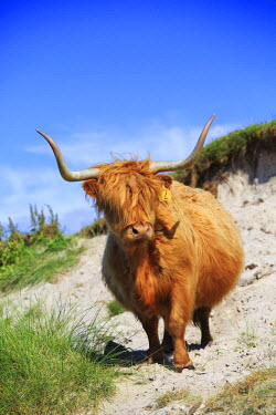 SCO34070AW Scotland, Argyll and Bute, Isle of Tiree. A highland cow heading for the beach.