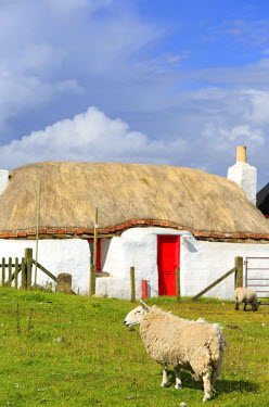 SCO34071AW Scotland, Argyll and Bute, Isle of Tiree. Sheep grazing by a traditional hebridean cottage in Scarinish.
