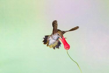 US44LDI1866 Black-chinned Hummingbird (Archilochus alexandri) female feeding,  Texas, USA