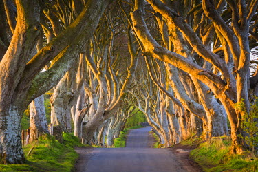 NIR8849AW United Kingdom, Northern Ireland, County Antrim, Stranocum. The Dark Hedges are a magnificent avenue of Birch trees planted in the Eighteenth Century by the Stuart family.